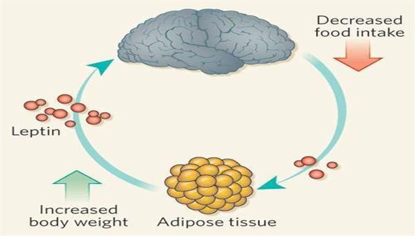 Leptin ( doygunluk ) hormonu