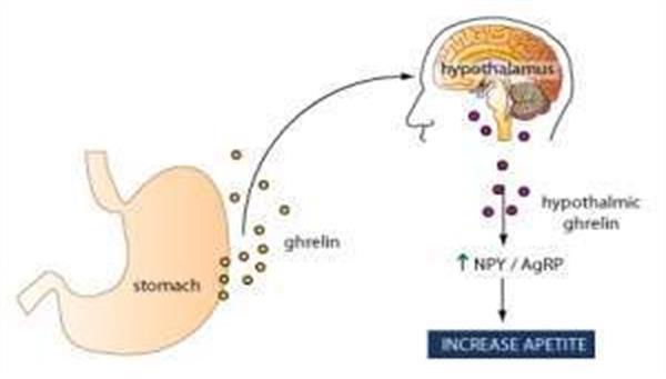 Ghrelin ( Açlık) Hormonu
